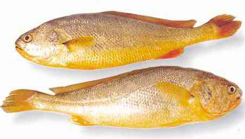 yellow-croaker